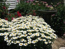 Shasta Daisy Alaska 75 Seeds Fresh Attract Butterflies Hummingbirds Free Ship!