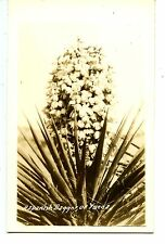 Flowering Spanish Dagger-Desert Yucca Plant-RPPC-Vintage Real Photo Postcard