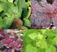 300 Orach Seeds,( Aurora Mix) Mountain or French Spinach, Sun Loving Vegetable