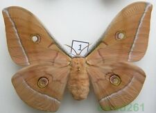 1.Antheraea pernyi (Guérin-Méneville, 1855) female Chiny 124mm