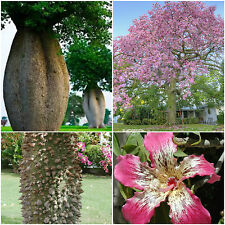 10 seeds of Ceiba speciosa = Chorisia speciosa, bottle of fake kapok tree, R