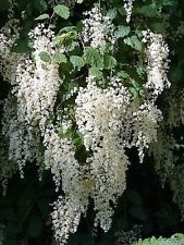 100 White OCEAN SPRAY Shrub Creambush Mountain Spray Holodiscus Flower Seeds