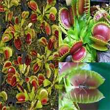40pcs Interesting Carnivorous Plant VENUS FLY TRAP Seeds With Care Instructions
