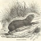 Rock Cavy: antique 1866 engraving print rodent animal art nature picture drawing