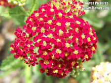 600 RED YARROW Achillea Millefolium Rubra Flower Seeds