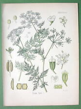 CARAWAY SEEDS Plant Carum Carvi - COLOR Litho Botanical Print