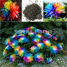 100 Rainbow Flower Seeds Chrysanthemum rare Special Unique unusual Colorful