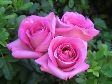Hot Pink Rose Bush! 10 Seeds! Comb. S/H! SEE OUR STORE FOR OTHER ROSES!