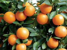 "2 TREES 3""- 6"" MEIWA KUMQUAT REAL LIVE CITRUS  FRUIT LANDSCAPING STARTER PLANTS"