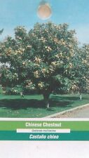 Chinese Chestnut Tree Live Home Landscape Plants Nut Hard Wood Shade Trees Nuts