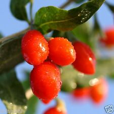 30 seeds Lycium Chinense GOJI BERRY -SFS-350- Wolfberry Shrub Fruit