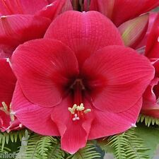 Amaryllis Hippeastrum BRAZZA  UNIQUE sur eBay.be 10 Graines 10 Zaden Seeds