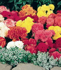 Tuberous Begonia Seed Go Go Mix 8 Colours Double Summer Flowers NEW RELEASE
