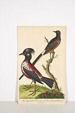 Gravure ancienne 1802 Ornithologie GRIVE à longue queue - GRIVE rose