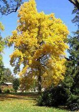 Ideal für Vogelhäuser: der wunderschöne Tulpenbaum