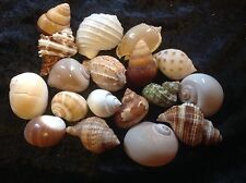 8 x HERMIT CRAB SHELLS  MIXED - SML/MED 2.5 TO 5cm - FOR LIVE HERMIT CRABS