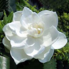50× Gardenia Cape Jasmine Strauch Blumensamen Pflanzen garten Sämereien Neu