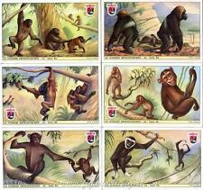 Figurine Lavazza serie n°40 Le Scimmie Antropomorfe ANNO 1951 Chromo