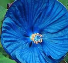 Giant Hibiscus Flowers Seeds (Blue) Qty. 20 Seeds