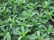 200 Seeds Stevia rebaudiana. sweetleaf, sugarleaf Seeds,Sugar Herb Flower Seeds