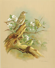 The Goldcrest & The Spotted Flycatcher - Vintage 1965 Bird Print by Basil Ede