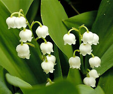 25 LILY OF THE VALLEY SEEDS - Convallaria majalis