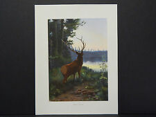 Animals print c.1910 Original Color Wapiti, or Elk