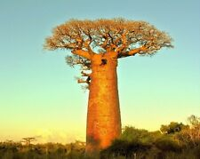 Adansonia Digitata Seed -  African BAOBAB TREE - Excellent Bonsai - 5 Seeds