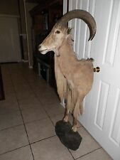 Fully frant Guided Aoudad Hunts in Texas Taxidermy Mount | Sheep Head Mouflon