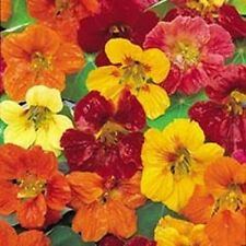 Nasturtium Tom Thumb Seed Mix Seven Colours Edible Upward Facing Annual Edible