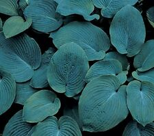 ELEGANS  HOSTA LARGE  2 YEAR PLANT  BUY 5 GET 1 FREE
