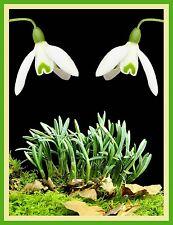 100 Stück Schneeglöckchen Galanthus nivalis, Staude Zwiebel