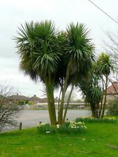 Cordyline Australis - Torbay, Cornish, Cabbage Palm - 20+ Fresh Seeds