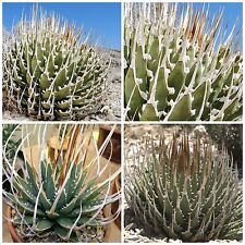 50 seeds of Agave utahensis var. eborispina, succulents,cacti, succulents seed R