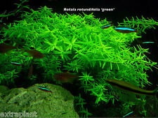 Rotala Indica Green - Live Aquarium Plants Rotundifolia Fish Tank Java Moss Fern