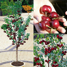 "SEEDS – Upright Sweet ""Sylvia"" Cherry (Prunus avium) - Self-fertile Dwarf Cherry"