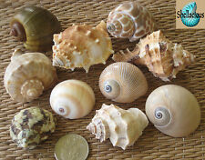 10 MEDIUM SEA SHELLS FOR YOUR GROWING HERMIT CRABS