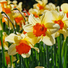 100 PCS MIXED  NARCISSUS SEEDS GARDEN BULB AUTUMN GROWING SPRING FLOWERING
