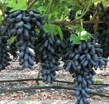 Rare American Witch Finger Grape Extra Super Sweet 15 Bonsai Seeds, Super Sweet