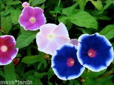 10 Graines Ipomée Kikyo Zaki (Ipomoea nil) Morning Glory Seeds