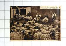 1939 Shearing Fine Long Woolled Sheep Bannisdale Head Westmorland
