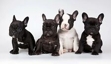 "french Bulldog Puppies Canvas Print  A1 30"" x 20"""