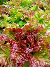 BEAUTIFUL PRIZEHEAD LEAF LETTUCE! 100 SEEDS! TASTY IN SALAD! COMB S/H!