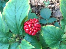 50 AMERICAN GINSENG SEEDS-STRATIFIED-PLANT NOW FOR THE 2016 SEASON-GROW ROOTS