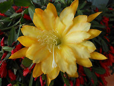 EPIPHYLLUM ORCHID CACTUS    GOING--BANANAS-- FRAGRANT