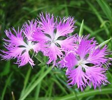 Dianthus Fringed Pink 75 Seeds Sweet Spicy Fragrance Free Ship!