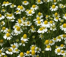 CHAMOMILE SEEDS * GERMAN VARIETY*APPLE SCENTED*TEAS & POTPOURRI'S* FLOWERING*100