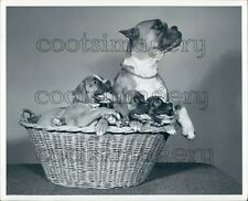 Boxer Dog in Basket With Cute Pups Ewing Galloway Press Photo
