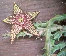 Stapelia Orbea variegata Live Plant-2prong cutting-Roots Easy-Rare Unique flower