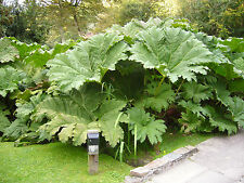 Gunnera manicata - Giant Rhubarb - 20 Fresh Seeds